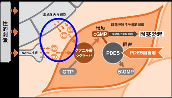 レビトラはNO(一酸化窒素)とサイクリックGMP、PDE5が作用機序に関係!