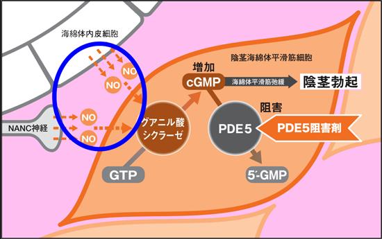 バイアグラはPDE5阻害薬、cGMPを増加させ海綿体平滑筋を弛緩させる