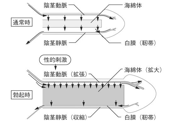 バイアグラは一酸化窒素からサイクリックGMP、陰茎静脈が白膜から圧迫!