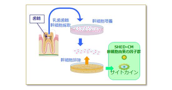 乳歯歯髄幹細胞培養上清液の仕組み。SHED-CM幹細胞由来の因子群